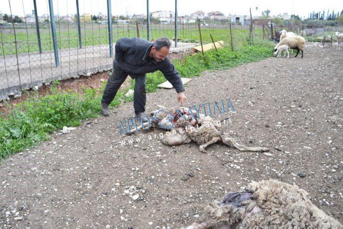 Σκληρές εικόνες: Αγέλη άγριων σκυλιών κατασπάραξε πρόβατα (pic)