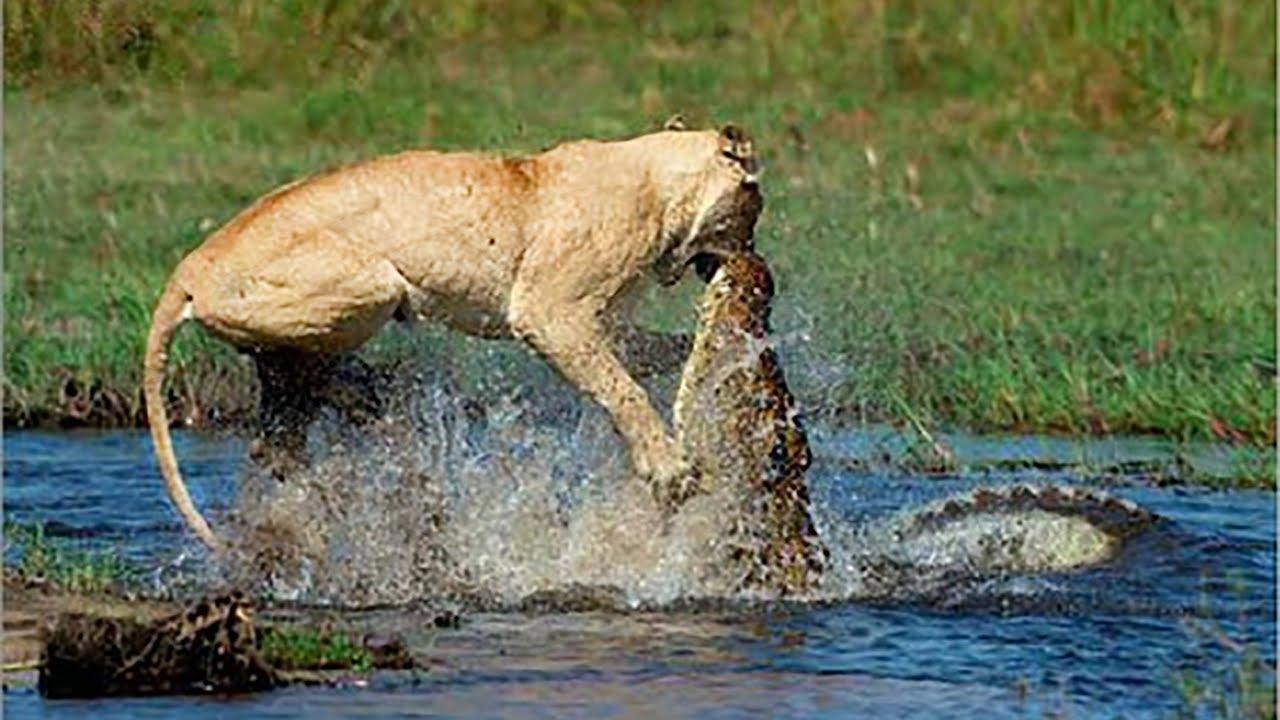 Άγρια μάχη: Κροκόδειλος επιτίθεται σε λιοντάρι και… (vid)