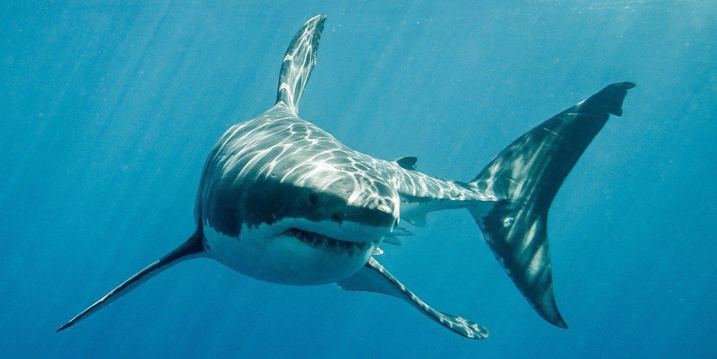 Φόβος και τρόμος στη Μαγιόρκα: Εθεάθη λευκός καρχαρίας 5 μέτρων (pic&vid)