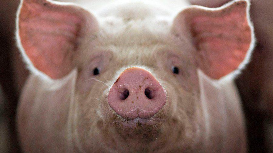 Γεννήθηκε γουρούνι με ανθρώπινο πρόσωπο (vid)
