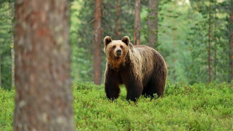 H 95χρονη… Σβαρτσενέγκερ που τα έβαλε με αρκούδα…δύο φόρες (vid)