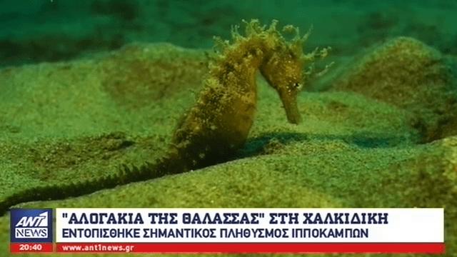 Οικολόγοι διέσωσαν ένα σπάνιο πληθυσμό ιππόκαμπων στη θάλασσα της Χαλκιδική - Sportime.GR