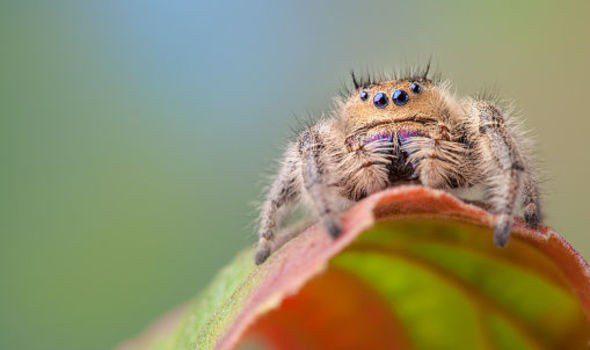 Aράχνη που πηδά δύο μετρα εισέβαλε στην Βρετανία