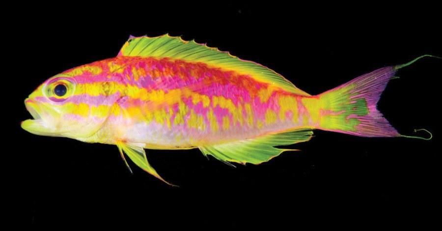 Οι επιστήμονες ανακάλυψαν ένα νέο πολύχρωμο ψάρι (pics)