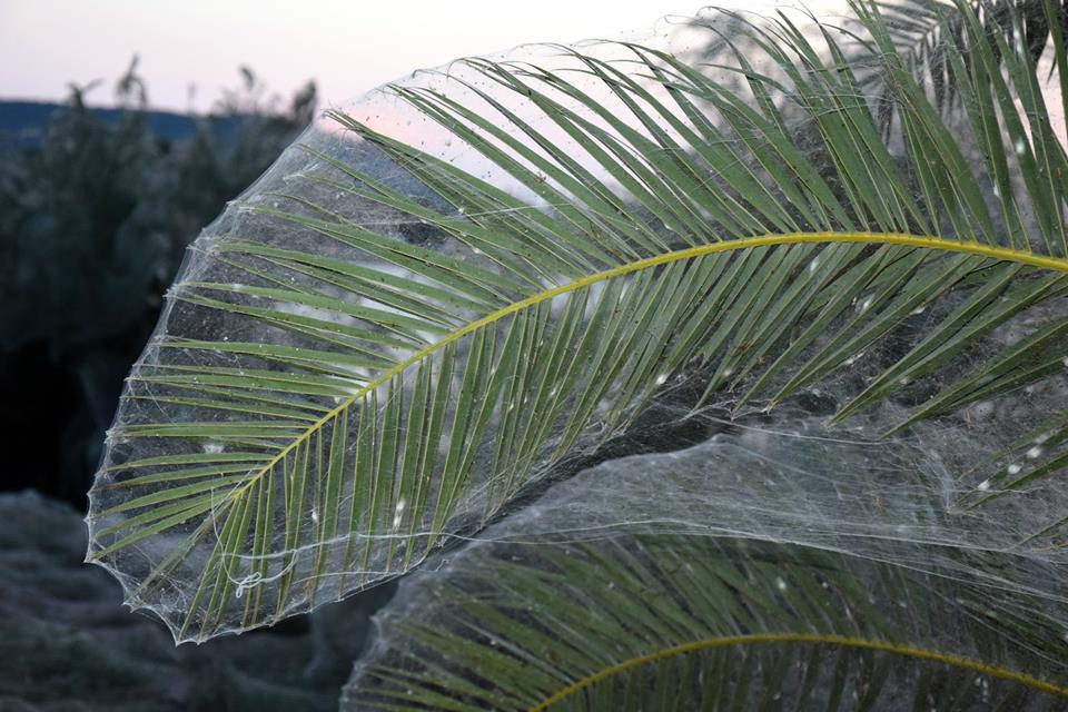 Αιτωλικό: Αράχνες έπλεξαν ιστό…300 μέτρων (video+pics)