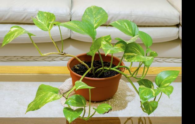 Γενετικά τροποποιημένο φυτό εσωτερικού χώρου καθαρίζει την ατμόσφαιρα