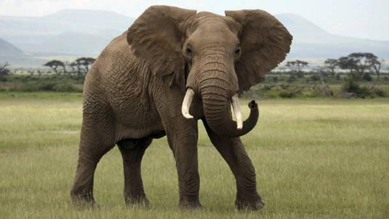 Ο κλέφτης…ήταν ελέφαντας (vid)