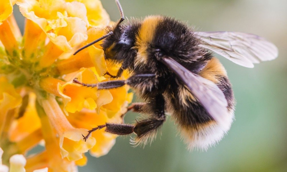 Ανακαλύφθηκε γιγαντιαία μέλισσα και είναι ζωντανή!