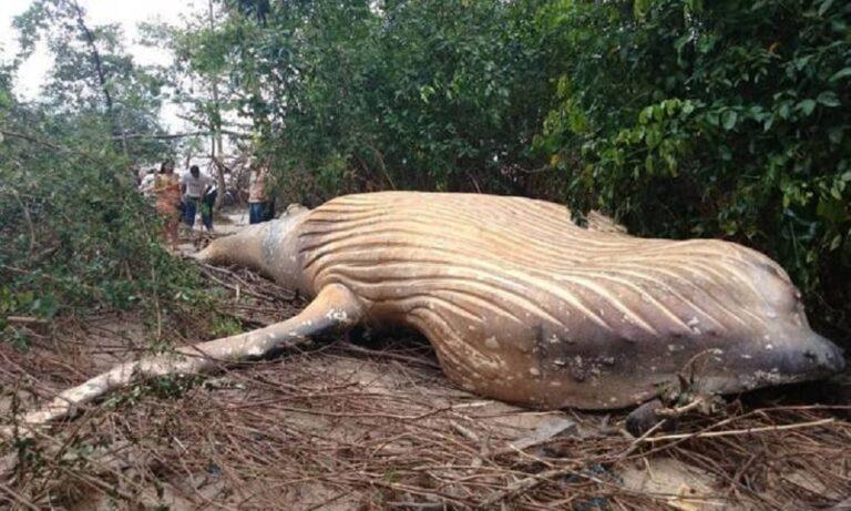 Μυστήριο με νεκρή φάλαινα στη ζούγκλα του Αμαζονίου (vid)