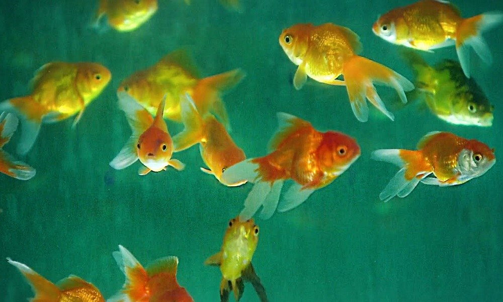 Τα ψάρια αναγνωρίζουν τον εαυτό τους στον καθρέφτη