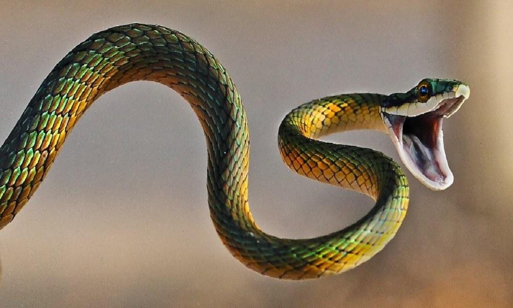 Τα πιο δηλητηριώδη φίδια στον κόσμο (vid)