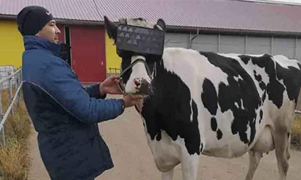 Φόρεσαν VR headsets σε αγελάδες για να μειώσουν το άγχος τους!