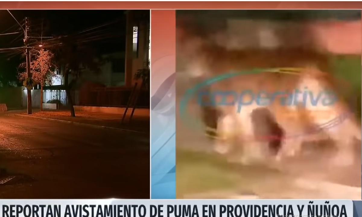 O κορονοϊός επέτρεψε σε ένα πούμα να… σουλατσάρει στους δρόμους της Χιλής!
