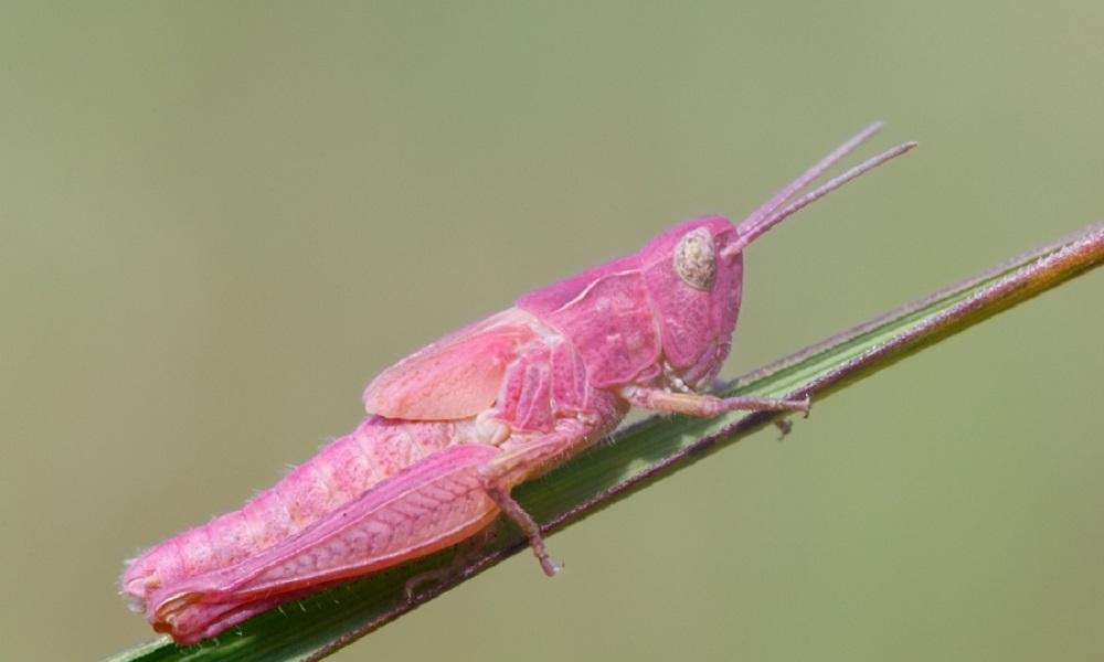 Οι σπάνιες εντυπωσιακές ροζ ακρίδες (pics-vid)