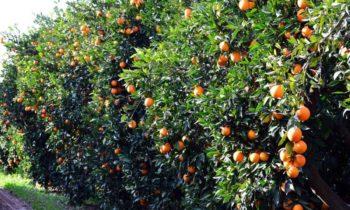 Αργολίδα: Προσπάθησαν να κλέψουν 3,5 τόνους πορτοκάλια!