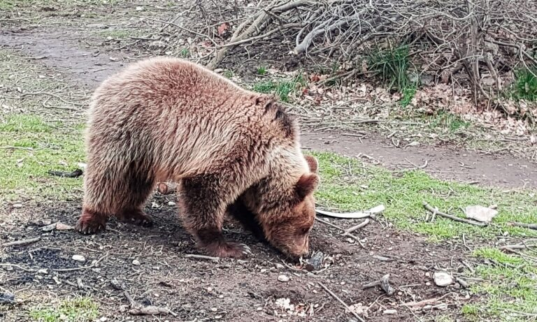 Καστοριά: Στο νοσοκομείο 26χρονος, μετά από καυγά των σκυλιών του με αρκούδα!