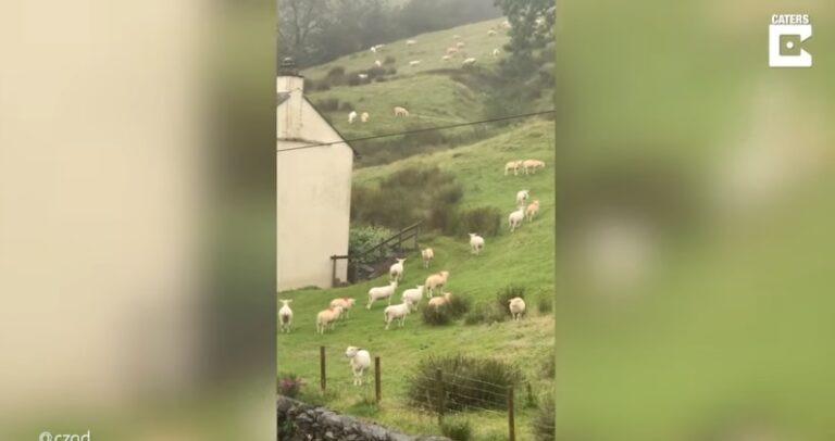 Ανεξήγητο φαινόμενο στη Βρετανία: Πρόβατα μένουν για ώρα «παγωμένα» σε λιβάδι! (vid)