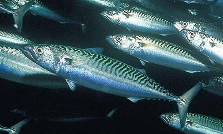 ΣΟΚ στην Αυστραλία - Σκουμπρί 18 κιλών σκότωσε ψαρά!