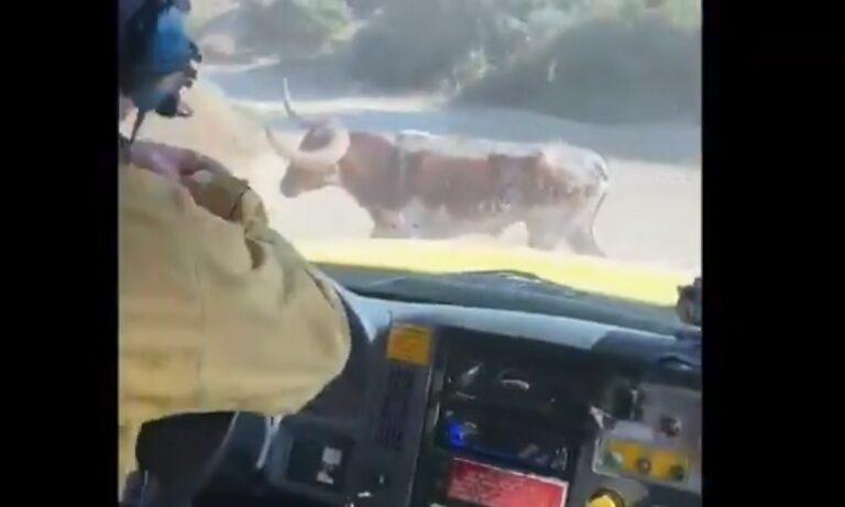 Viral: Ταύρος πήρε στο κυνήγι πυροσβέστες!