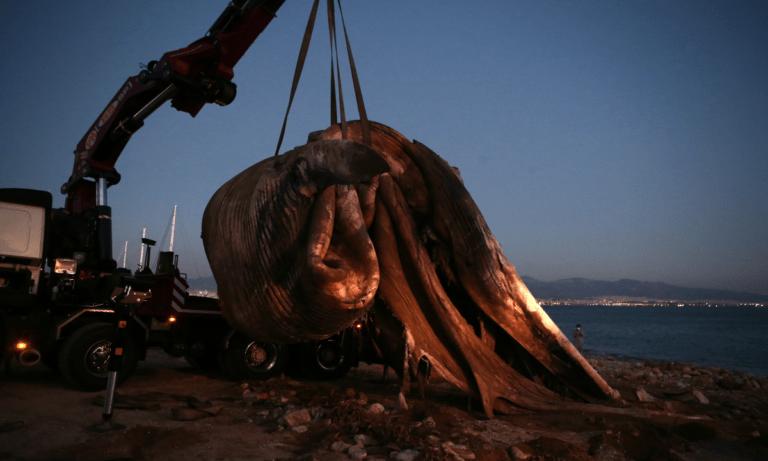 Πειραιάς: Ξεβράστηκε νεκρή φάλαινα στην Φρεαττύδα (vid)