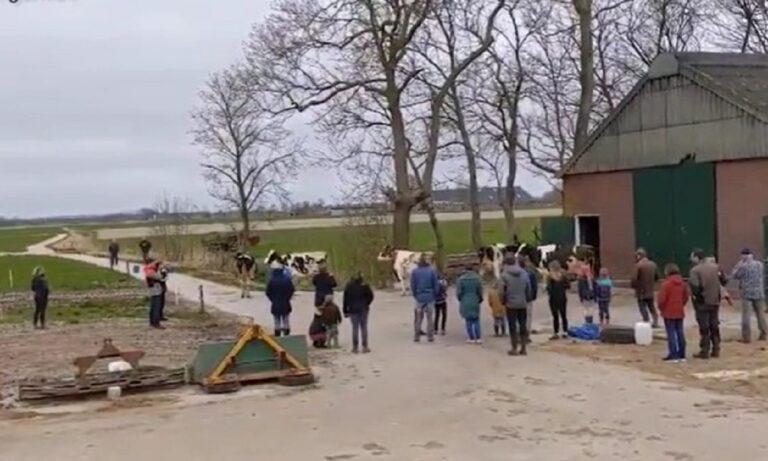 Ολλανδία – Viral: Απελευθέρωσαν αγελάδες αλλά επέστρεψαν δευτερόλεπτα μετά στον αχυρώνα λόγω… κρύου (vid)