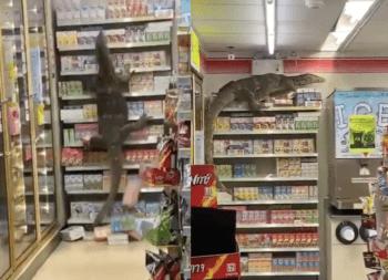 Τρομακτικά πλάνα κατέγραψαν μία γιγαντιαία σαύρα να τρέχει και να σκαρφαλώνει στα ράφια σούπερ μάρκετ της Ταϊλάνδης.