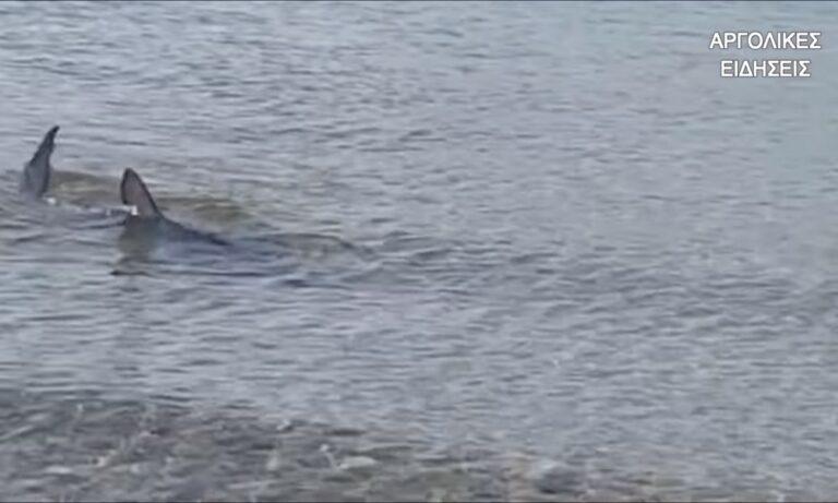 Γαλάζιος καρχαρίας στο Ναύπλιο