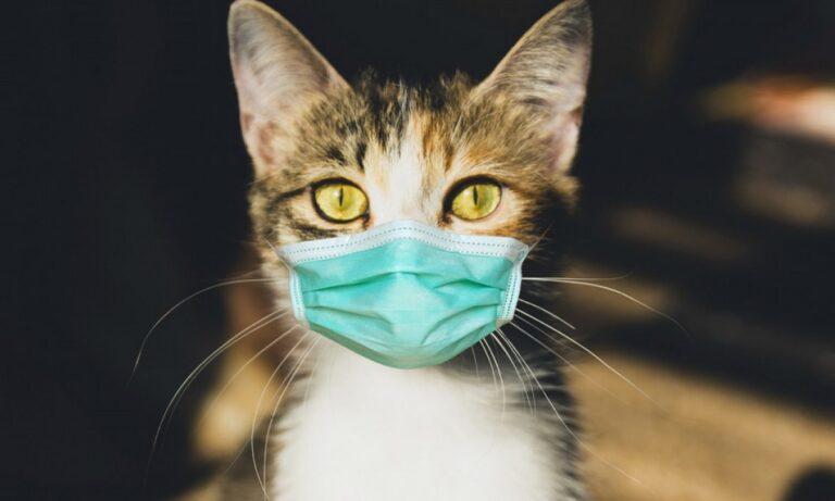 Οι άνθρωποι κολλάνε τις γάτες κορονοϊό