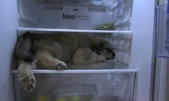 Viral: Σκύλος μπήκε στο ψυγείο για να...δροσιστεί! (vid)