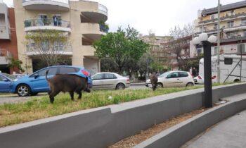 Θεσσαλονίκη: Αγριογούρουνα έκοβαν βόλτες στους δρόμους