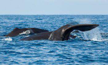 Viral: Έναν δύτη τον κατάπιε φάλαινα, για καλή του τύχη όμως τον έφτυσε και έτσι επέζησε.