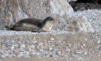 Η Μη Κυβερνητική Οργάνωση για την προστασία της Μεσογειακής Φώκιας, MOm, καταγγέλλει ότι ο νεαρός Κωστής θανατώθηκε στην Αλόννησο από ανθρώπινο χέρι.