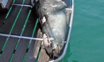 Η δολοφονία της φώκιας «Κωστής» έχει σοκάρει την Αλόννησο. Το θέμα, που προκάλεσε την οργή του κόσμου έφερε εισαγγελική παρέμβαση.