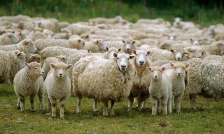Ισραήλ: Πρόβατα χορεύουν και γίνονται viral! (vid)