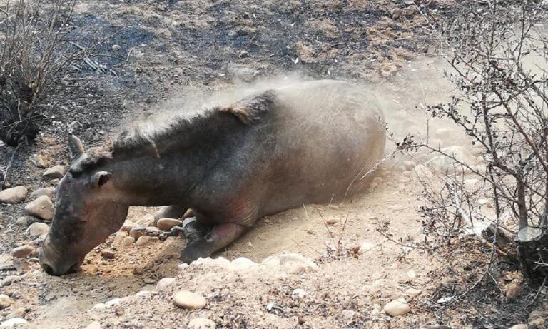 Συγκινητική ανάρτηση: Το άλογο που σώθηκε από τις φλόγες αλλά ξεψύχησε αργότερα – Θύματα είναι και τα ζώα!